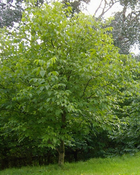ореховое дерево фото